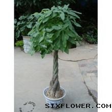 发财树,1.6米高朱泾小屋花店