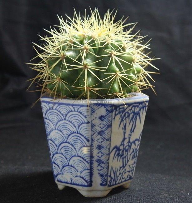 五津北路麦香园仙人球盆栽