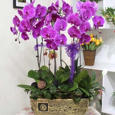 8株优质紫蝴蝶兰/为你祈祷,祝你健康快乐一号花店(爱尚鲜花店)