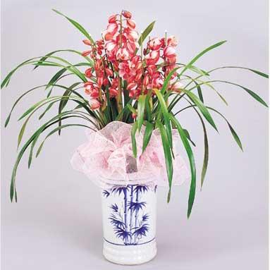 绿植/大花惠兰(红色)重庆巫溪县花店