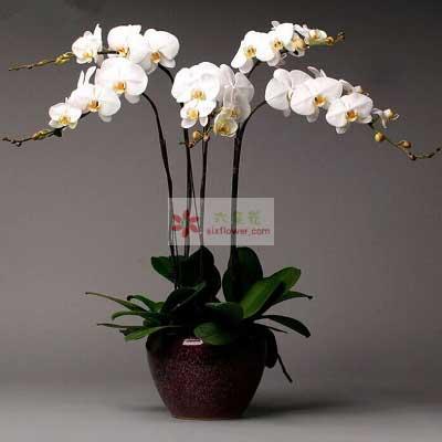 温州暗香花坊6株白色蝴蝶兰,感恩有您