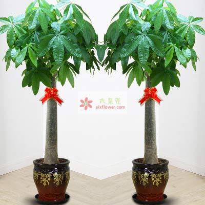 单杆发财树,1.6m,生意兴隆浪漫花店