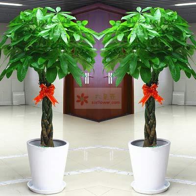 三编发财树,1.6米高,财源广进南京雅馨花屋