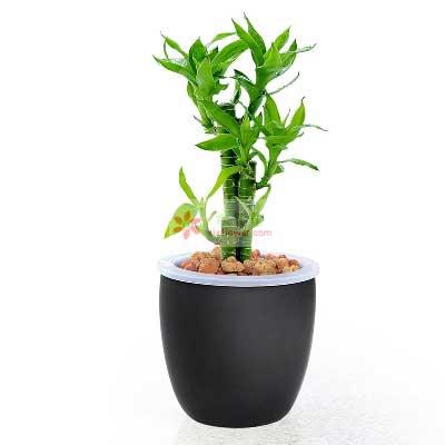 惠州惠阳子艺花缘坊盆栽富贵竹,办公室、居家都可以养,寓意花开富贵之意