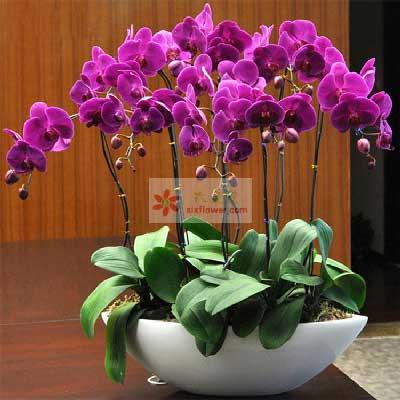 6株紫色蝴蝶兰,幸福开遍生活中每个角落温州瓯海沙仑鲜花店